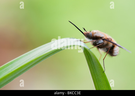 Bombylius major. Bee fly resting on a leaf Stock Photo