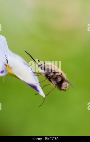 Bombylius major. Large Bee fly / Dark-edged Bee-fly  resting on a flower Stock Photo
