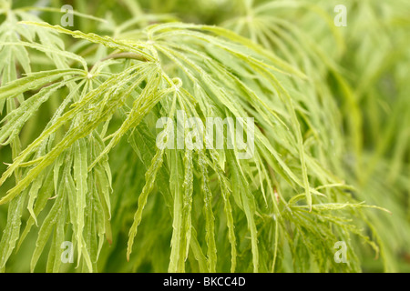 Classic green weeping Maple, Green laceleaf, threadleaf, or cutleaf weeping Japanese maple Acer palmatum Dissectum - Stock Photo