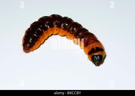 Goat Moth (Cossus cossus), caterpillar, studio picture. - Stock Photo