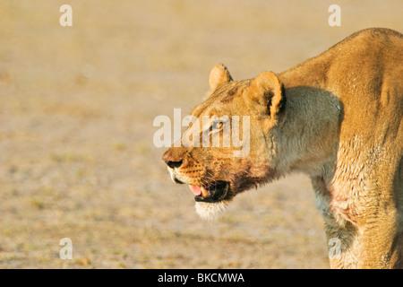 lioness - Stock Photo