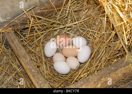 Fresh eggs in nest - Stock Photo