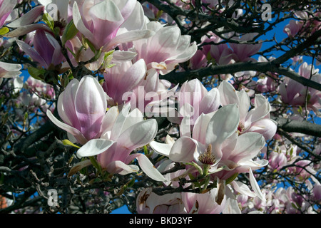 Saucer Pink Japanese Magnolia Tree in bloom Spring E USA, by Dembinsky Photo Assoc - Stock Photo