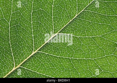 Close-up macro shot of back-lit rose leaf - Stock Photo