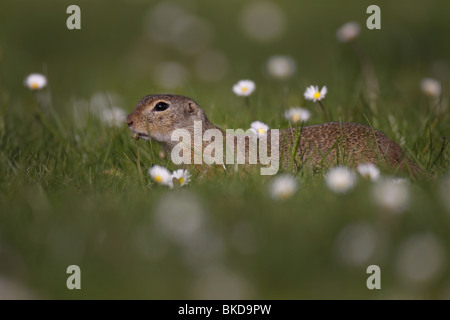 Ziesel, Spermophilus, citellus,European, ground, squirrel, - Stock Photo