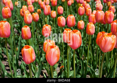 Close up of tulips at the Tulip Time Festival in Holland, Michigan - Stock Photo