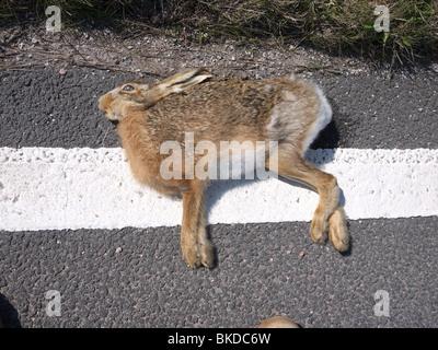 Dead mountain Hare (Lepus Timidus) due to roadkill.Peak District Derbyshire, England, UK - Stock Photo