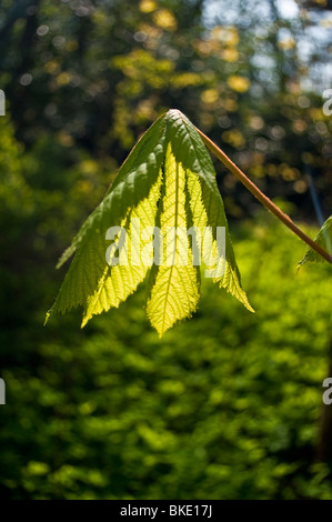 Young horse chestnut leaf - Stock Photo