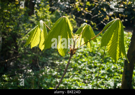 Young horse chestnut leaves - Stock Photo