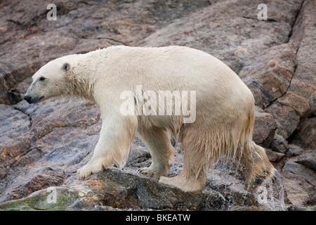 Norway, Svalbard, Spitsbergen Island, Polar Bear (Ursus maritimus) shakes off water after emerging from sea onto - Stock Photo
