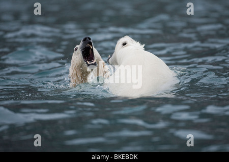 Norway, Svalbard, Spitsbergen Island, Polar Bears (Ursus maritimus) play fighting while swimming in cold sea - Stock Photo