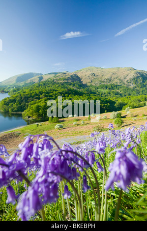 Bluebells above Grasmere in the Lake District UK - Stock Photo