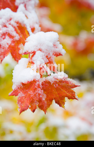 Vine Maple (Acer Circinatum), Mount Hood, Oregon, Usa - Stock Photo