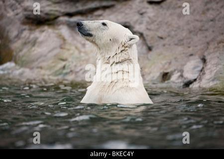 Norway, Svalbard, Spitsbergen Island, Polar Bear (Ursus maritimus) swimming in Sallyhammna Harbor - Stock Photo