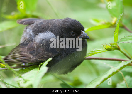 Small Ground Finch Geospiza fuliginosa Galapagos Island Santa Cruz Ecuador - Stock Photo