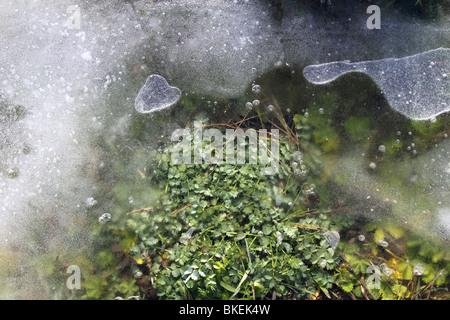 iced grass plants under ice snow winter soil - Stock Photo