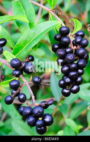 Wild privet berries in autumn - Stock Photo