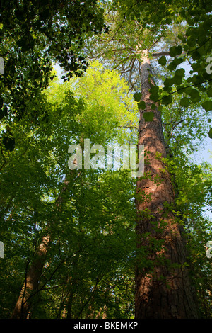 loblolly pine and forest canopy in old-growth bottomland forest, Congaree National Park, South Carolina - Stock Photo