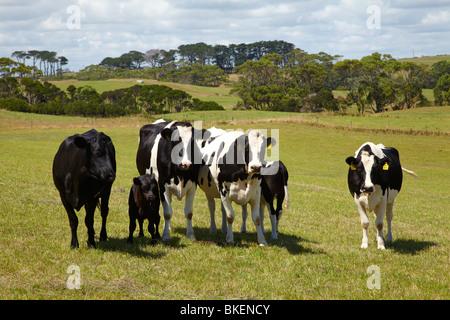 Cows and Farmland near Marrawah, North Western Tasmania, Australia - Stock Photo