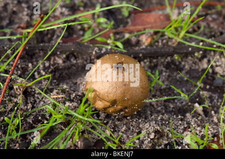 Puffball fungus showing the hole where spores are released. - Stock Photo