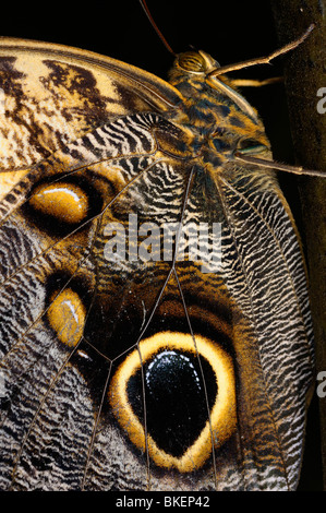 Close up of a Caligo Owl butterfly insect with decoy eye spots on a tropical plant trunk - Stock Photo