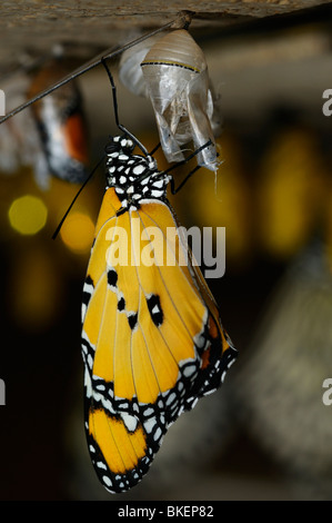 Newly emerged Plain tiger butterfly Danaus chrysippus hanging from the pupa - Stock Photo