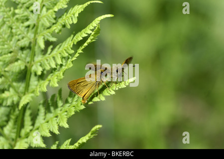 Pair of large skippers displaying on ferns - Stock Photo