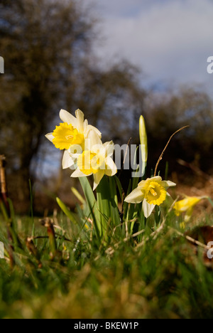 Wild Daffodils (Narcissus pseudonarcissus) growing on a Nature Reserve in the Herefordshire countryside - Stock Photo