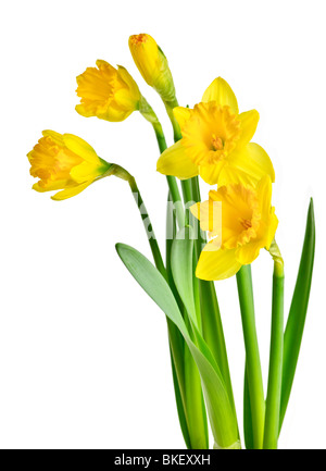 Spring yellow daffodil flowers isolated on white background - Stock Photo