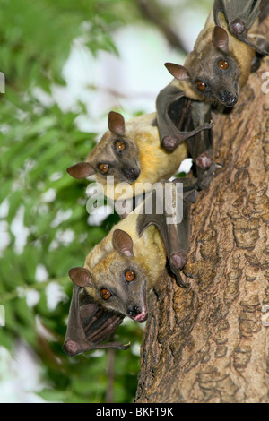 A colony of African straw-colored fruit bats (Eidolon helvum). - Stock Photo