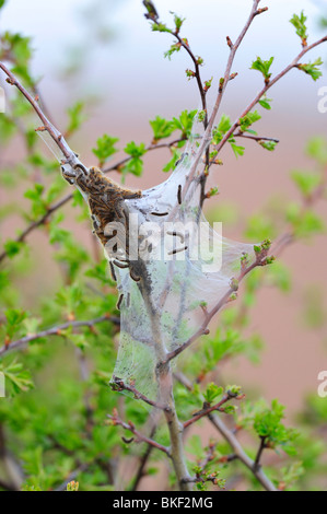 Brown tail moth. Euproctis chrysorrhea.  A particular problem for holiday makers on UK east coast Spurn Peninsula. - Stock Photo