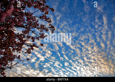 Altocumulus stratiformis Clouds layers - Stock Photo