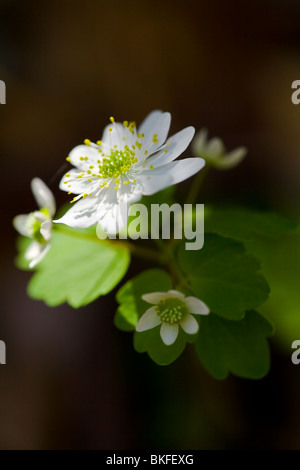 The Rue Anemone is an early spring wildflower that can be found growing in most rich woodland environments from - Stock Photo