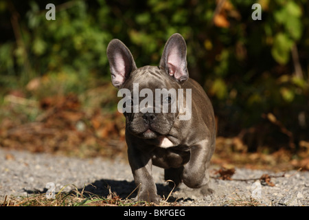 Französische Bulldogge Welpe / French Bulldog Puppy - Stock Photo