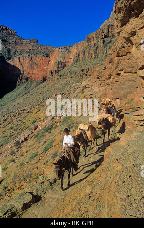 Packer with string on mules on South Kaibab Trail below South Rim, Grand Canyon National Park, Arizona, BEAN ALPix - Stock Photo