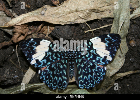 Red Cracker or Starry Night Butterfly Hamadryas amphinome - Stock Photo