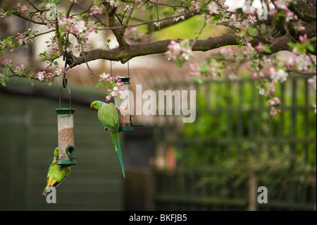 Ring Necked Parakeets, Psittacula krameri, on garden bird feeders, London, England, uk - Stock Photo