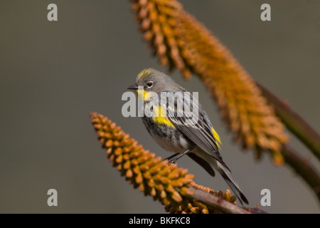 Yellow rumped Warbler Perched on an Aloe Blossom - Stock Photo