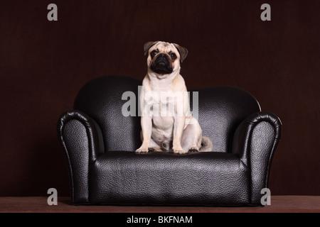 Mops / pug - Stock Photo