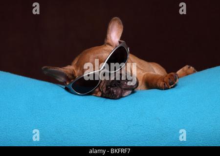 Französische Bulldogge Welpe / French Bulldog Puppy - Stock Photo