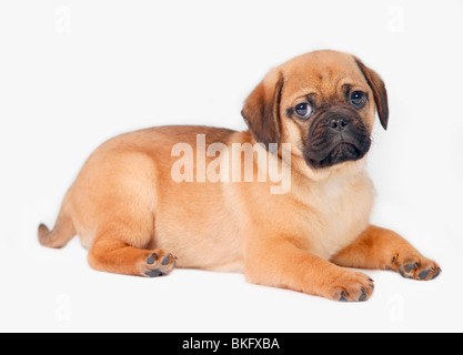 Pug Dog - Stock Photo