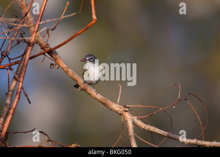 Blue-headed Vireo (Vireo solitarius solitarius) in fresh fall plumage with bug. - Stock Photo