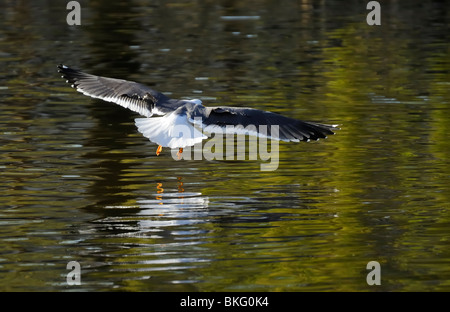 Open wing Lesser Black-backed gull landing on wave lake with its own reflection - Stock Photo