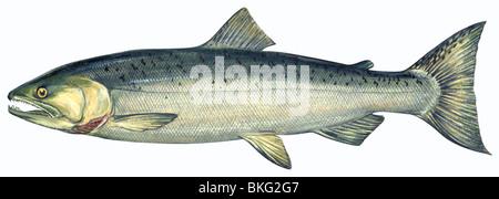 Coho salmon - Stock Photo