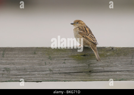 Female House Sparrow perched on a old wooden board - Stock Photo