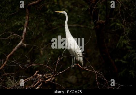 A white heron, Egretta Alba, perches on a tree in the Sumidero Canyon in Tuxla Gutierrez, Mexico - Stock Photo