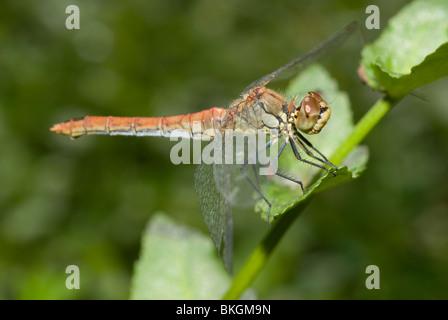 Female ruddy darter (Sympetrum sanguineum) - Stock Photo
