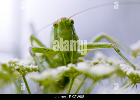 Grasshopper portrait on the white flowers in sky-blue background - Stock Photo