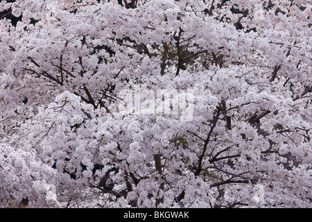 Cherry blossoms full-bloomed - Stock Photo