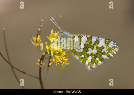 Oostelijk marmerwitje; Eastern dappled white - Stock Photo